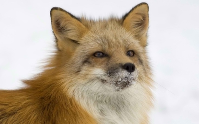 Fox [13] Wallpaper