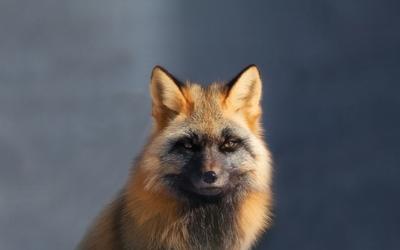 Fox [18] wallpaper