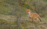 Fox [21] wallpaper 1920x1200 jpg