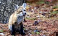 Fox cub wallpaper 1920x1200 jpg