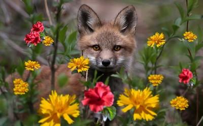 Fox hiding in the flowers wallpaper