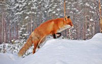 Fox in snow wallpaper 1920x1200 jpg