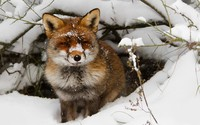 Fox in the snow wallpaper 1920x1200 jpg