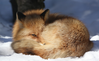 Fox on the snow wallpaper