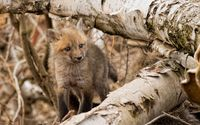 Fox pup wallpaper 1920x1200 jpg