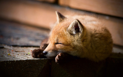 Fox sleeping wallpaper