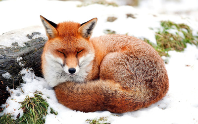Fox sleeping in the snow wallpaper
