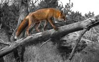 Fox walking on the branch wallpaper 1920x1200 jpg