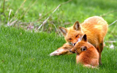 Fox with cub wallpaper
