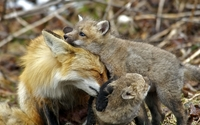 Fox with cubs wallpaper 1920x1200 jpg