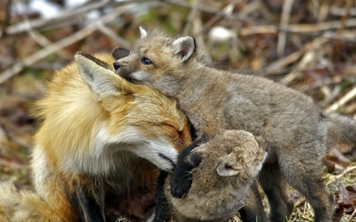 Fox with cubs wallpaper