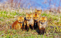 Foxes [2] wallpaper 1920x1200 jpg