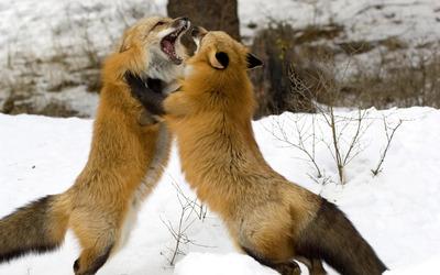 Foxes wallpaper