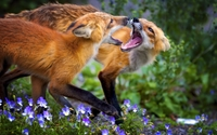 Foxes fighting in the violet field wallpaper 2560x1600 jpg