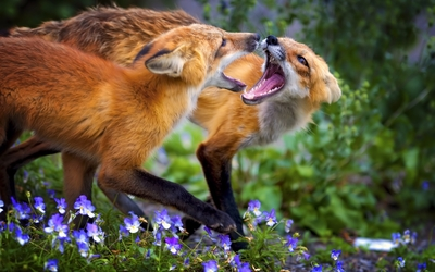 Foxes fighting in the violet field wallpaper