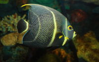French Angelfish wallpaper 2560x1600 jpg
