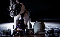 French Bulldog [2] wallpaper 2560x1440 jpg
