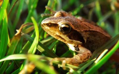 Frog [6] wallpaper