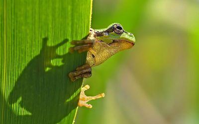 Frog [5] wallpaper
