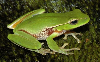 Frog [2] wallpaper