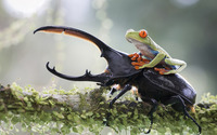 Frog on a beetle wallpaper 1920x1200 jpg