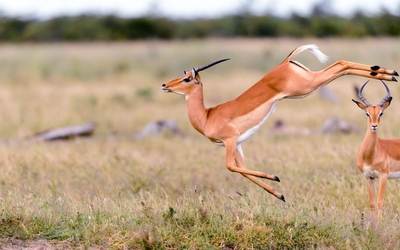 Gazelle wallpaper