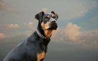 Gazing black dog wallpaper 2560x1600 jpg