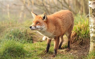 Gazing fox [2] wallpaper