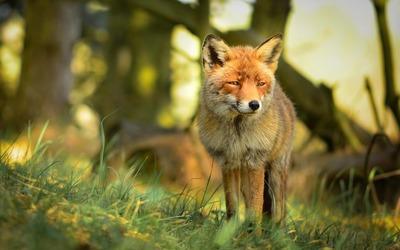 Gazing fox wallpaper