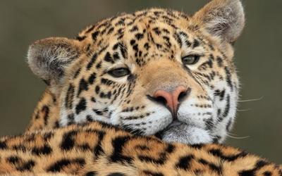 Gazing jaguar close-up wallpaper