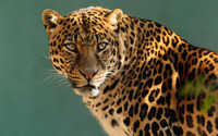 Gazing leopard wallpaper 2560x1600 jpg