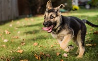 German Shephard puppy wallpaper 1920x1080 jpg