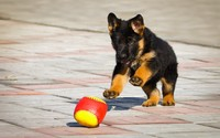 German shephard puppy [2] wallpaper 1920x1200 jpg