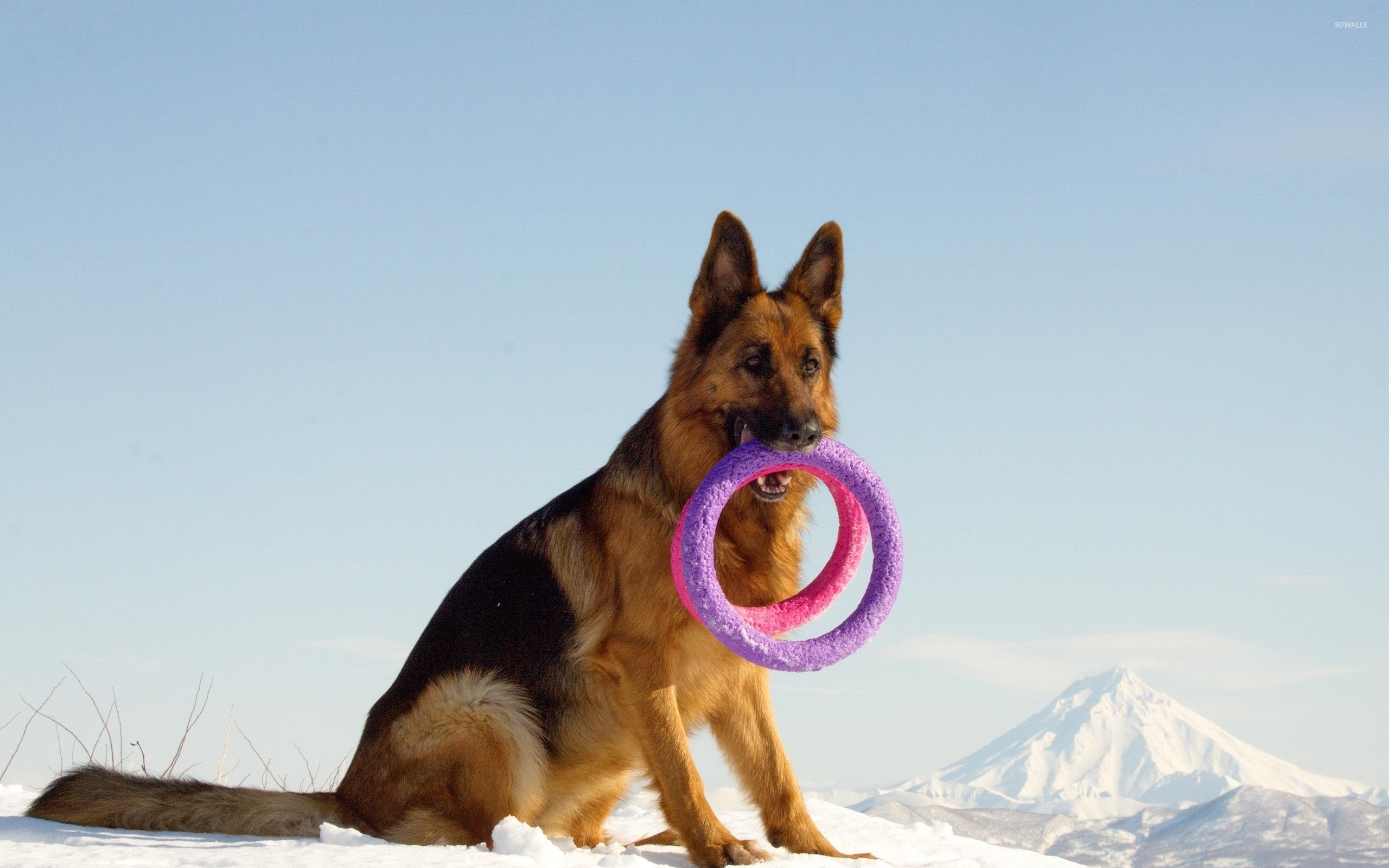 animals german shepherd desktop - photo #5