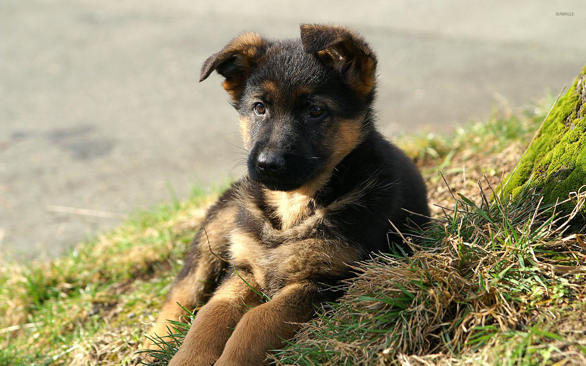 German Shepherd wallpaper - Animal