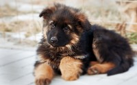 German shepherd puppy wallpaper 1920x1200 jpg