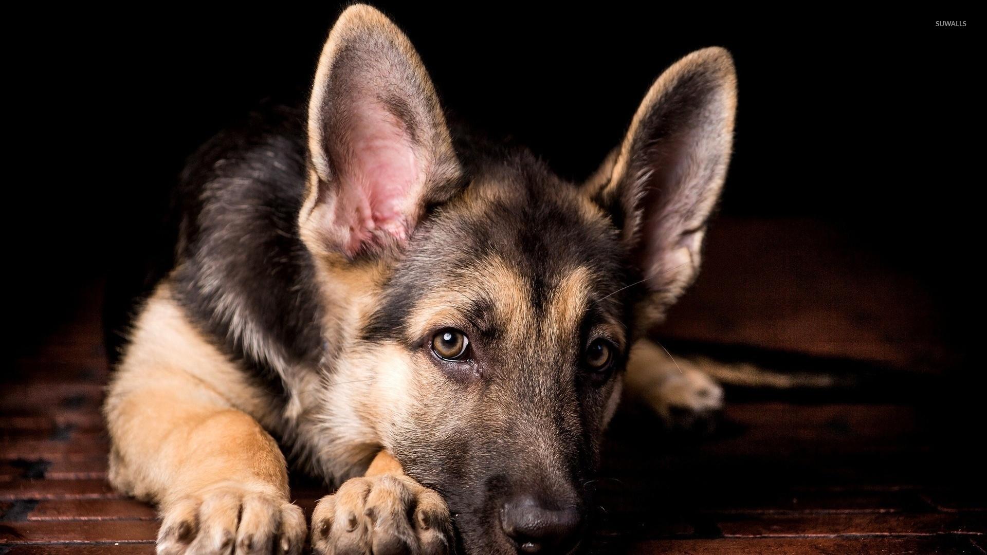 animals german shepherd desktop - photo #25