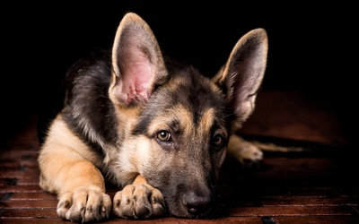 German Shepherd puppy [2] wallpaper