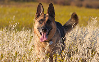 German Shepherd with its tongue out wallpaper 3840x2160 jpg