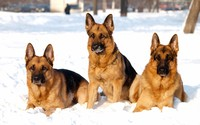 German shepherds in the snow wallpaper 2880x1800 jpg