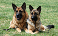 German Shepherds on the grass wallpaper 2880x1800 jpg