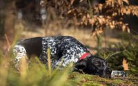 German Shorthaired Pointer wallpaper 2560x1600 jpg