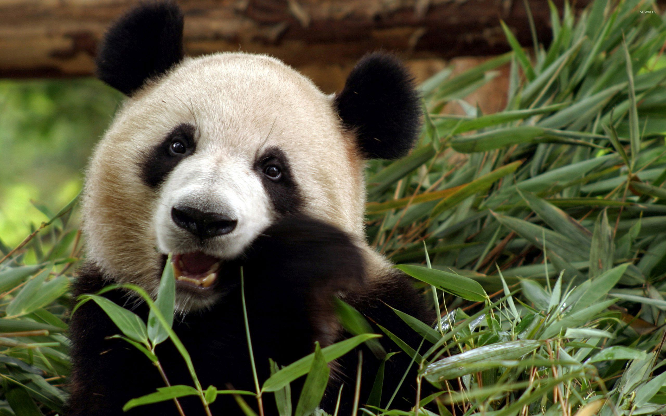 Giant panda wallpaper  Animal wallpapers  33214