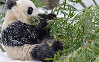 Giant panda covered in snow wallpaper 2560x1440 jpg