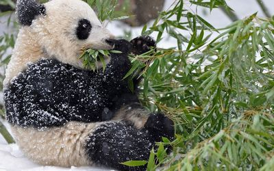 Giant panda covered in snow wallpaper