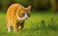 Ginger cat wallpaper 1920x1200 jpg