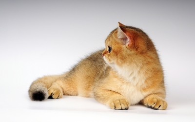 Ginger cat laying wallpaper