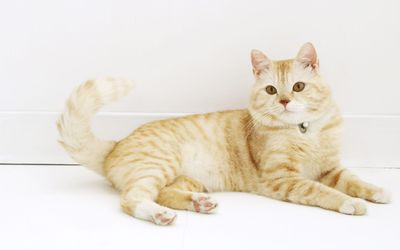 Ginger cat with a bell on its collar wallpaper