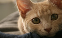 Ginger cat with green eyes wallpaper 3840x2160 jpg