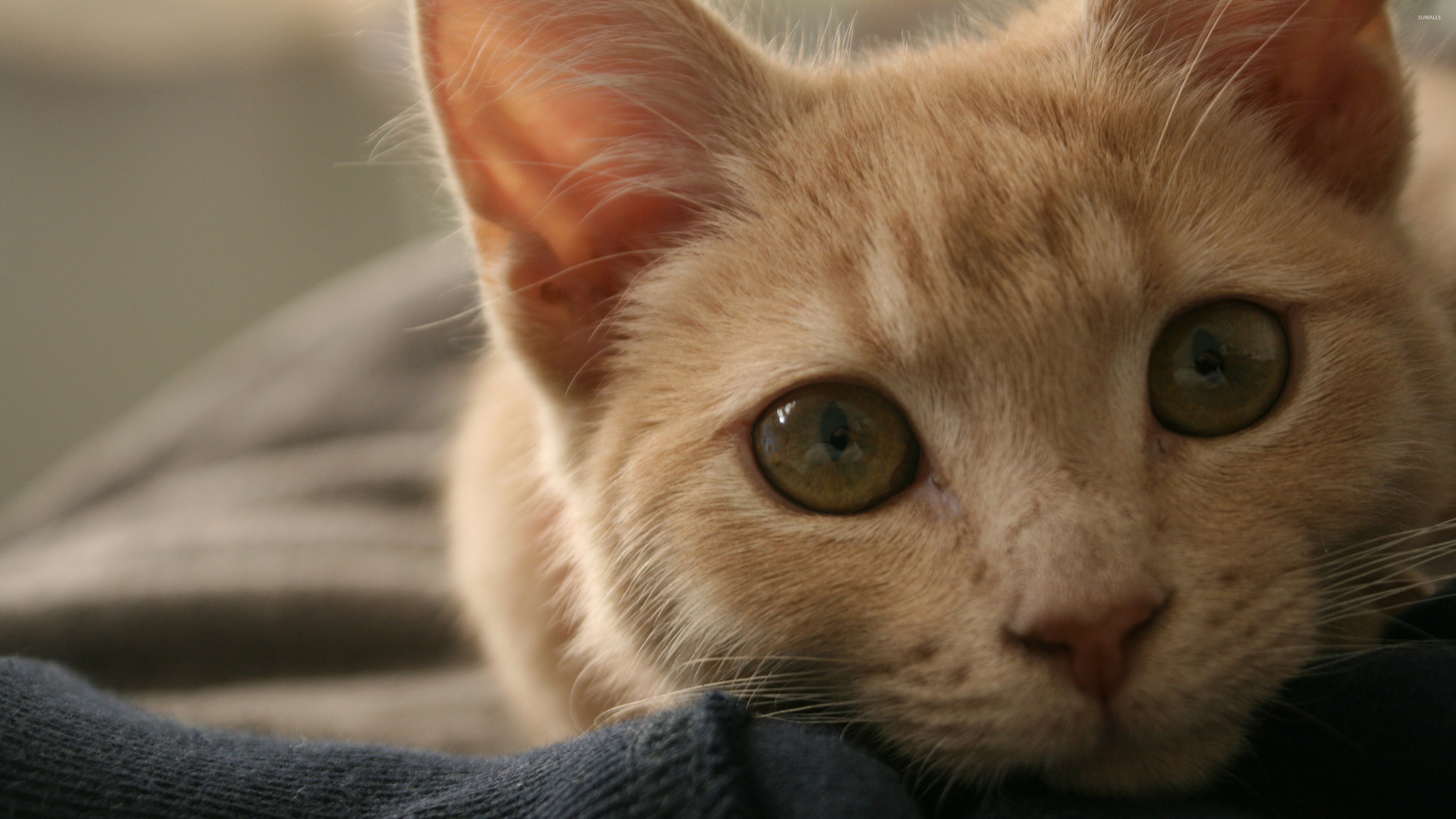 Ginger Cat With Green Eyes Wallpaper Animal Wallpapers